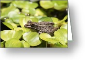 Brown Frog Greeting Cards - Penny For Your Thoughts Greeting Card by Kathy Gibbons