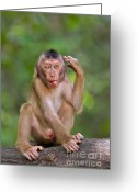 Primates Greeting Cards - Perplexed Greeting Card by Ashley Vincent