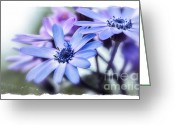 Aster  Photo Greeting Cards - Pink and Blue Cineraria Greeting Card by Julie Palencia