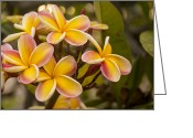 Flowery Greeting Cards - Pink and Yellow Plumeria 2 Greeting Card by Brian Harig