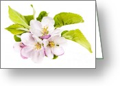 May Greeting Cards - Pink apple blossoms Greeting Card by Elena Elisseeva