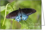 Carol Groenen Greeting Cards - Pipevine Swallowtail on Plant Greeting Card by Carol Groenen