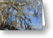 Live Oak Trees Greeting Cards - Pure Florida - Spanish Moss Greeting Card by Christine Till