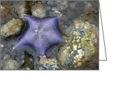 Elizabeth Rose Greeting Cards - Purple Starfish from Sandspit BC Canada Greeting Card by Elizabeth Rose