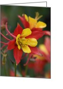 Elizabeth Rose Greeting Cards - Red and Yellow Columbine Greeting Card by Elizabeth Rose