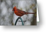 Roger Lewis Greeting Cards - Red Cardinal Pose Greeting Card by Roger Lewis