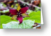 Woodland Plant Greeting Cards - Red Flowered Trillium Greeting Card by Douglas Barnett