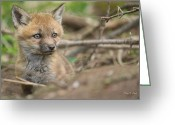 Fox Greeting Cards - Red Fox Kit Greeting Card by Everet Regal