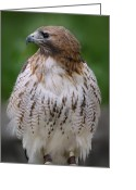 Red Tail Hawks Photo Greeting Cards - Red Tailed Hawk 279 Greeting Card by Joyce StJames
