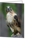 Red Tail Hawks Photo Greeting Cards - Red Tailed Hawk 282 Greeting Card by Joyce StJames