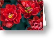 Jenny Rainbow Greeting Cards - Red Tulips. The Tulips of Holland Greeting Card by Jenny Rainbow