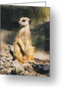Standing Meerkat Photo Greeting Cards - Relaxing Meerkat Greeting Card by Patrycja Polechonska