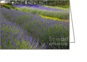 Carol Groenen Greeting Cards - Rows of Lavender Greeting Card by Carol Groenen