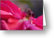 Fine Art Flower Photography Greeting Cards - Ruby Silk Greeting Card by Irina Wardas