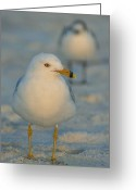 Santa Rosa Beach Greeting Cards - Santa Rosa Gull Greeting Card by Barbara Stellwagen