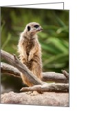 Standing Meerkat Photo Greeting Cards - Sentry Duty Greeting Card by Ray Warren