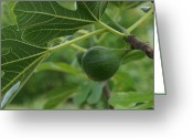 Mick Anderson Greeting Cards - Small Fig on a Small Fig Tree Greeting Card by Mick Anderson