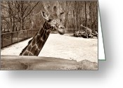 African Giraffes Greeting Cards - Small Talk Greeting Card by Luke Moore