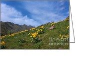 Balsamroot Greeting Cards - Spring Landscape Greeting Card by Charline Xia