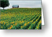 Old Country Roads Greeting Cards - Sunflower Field in West Michigan Greeting Card by James Rasmusson