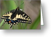 Swallow Tail Butterfly Greeting Cards - Swallow Tail Butterfly Greeting Card by Sabine Edrissi