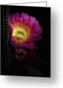Night Blooming Greeting Cards - The Beauty of Pink  Greeting Card by Saija  Lehtonen