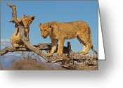 Intimacy Greeting Cards - The Predatory Instinct Greeting Card by Ashley Vincent