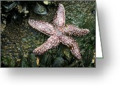 Great Point Greeting Cards - The Starfish  Greeting Card by JC Findley
