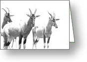 Game Animals Photo Greeting Cards - Topi Ghost - Kenya Greeting Card by Aidan Moran