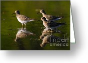 Larry Ricker Greeting Cards - Trio of Lesser Yellowlegs Greeting Card by Larry Ricker