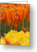 Brian Jones Greeting Cards - Tulip El Nino and Yellow Lily Greeting Card by Brian Jones