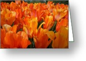Brian Jones Greeting Cards - Tulip El Nino Field Greeting Card by Brian Jones