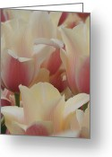 Brian Jones Greeting Cards - Tulips Blushing Lady Greeting Card by Brian Jones