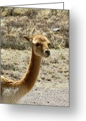 Soft  Glass Art Greeting Cards - Vicuna portrait Greeting Card by Darlene Grubbs