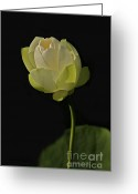 Lotus Bud Greeting Cards - White Lotus 1 Greeting Card by Heng Tan
