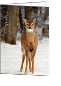 White Tailed Deer Greeting Cards - White-Tail And Snow Greeting Card by Christina Rollo