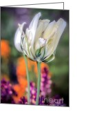 Delicate Bloom Greeting Cards - White Tulip Splash of Color Greeting Card by Julie Palencia