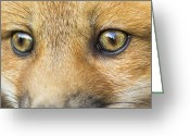 Game Animals Photo Greeting Cards - Wild eyes Greeting Card by Mircea Costina Photography