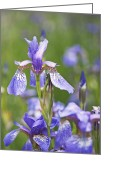 Blue Blood Greeting Cards - Wild Irises Greeting Card by Rona Black