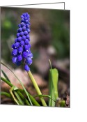 Grape Macro Digital Art Greeting Cards - Wildflowers - Grape Hyacinth Greeting Card by Christina Rollo