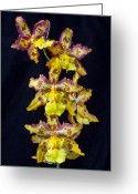 Wonderful Greeting Cards - Wonderful Orchid Greeting Card by Garry Gay