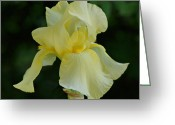 Indiana Flowers Greeting Cards - Yellow Iris Greeting Card by Sandy Keeton
