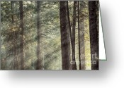 Fairytale Greeting Cards - Yosemite pines in sunlight Greeting Card by Jane Rix