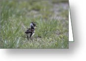 Lapwing Photo Greeting Cards - Young Lapwing Greeting Card by Ronald Jansen
