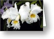 Orchids Greeting Cards - Orchids in White Greeting Card by Mindy Newman