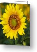 Flowers Floral Greeting Cards - Sunflower Greeting Card by Amanda Barcon