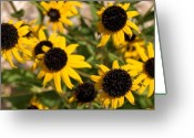 Black Eyed Susans Greeting Cards - Black Eyed Susans Greeting Card by Cindy Gacha