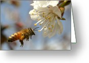 Pollinate Greeting Cards - Bee and a blossom Greeting Card by Danny Yanai