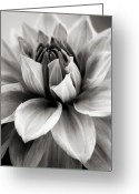 Black And White Floral Greeting Cards - Black and White Dahlia Greeting Card by Danielle Miller