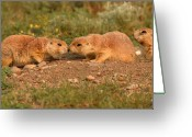 Prairie Dog Greeting Cards - Black-tailed Prairie Dog Greeting Kiss Greeting Card by Max Allen